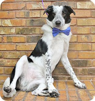 Border Collie/Australian Shepherd Mix Dog for adoption in Benbrook, Texas - George
