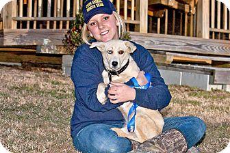 Labrador Retriever/Husky Mix Dog for adoption in Cashiers, North Carolina - Blizzard