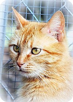 Domestic Shorthair Cat for adoption in Weatherford, Texas - *SABRINA*