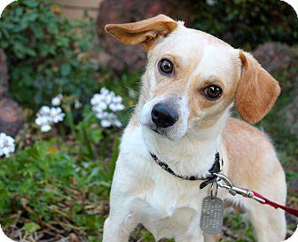 Beagle/Chihuahua Mix Dog for adoption in Los Angeles, California - Easton