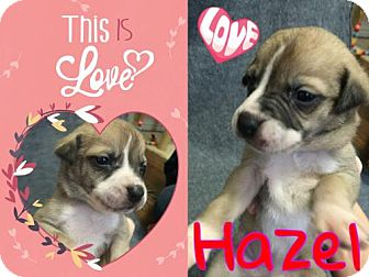 Bull Terrier Mix Puppy for adoption in Houston, Texas - Hazel