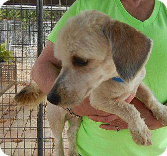 Dachshund/Poodle (Miniature) Mix Dog for adoption in Houston, Texas - DAVINCI