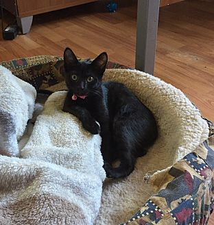 Domestic Shorthair Cat for adoption in Palmyra, New Jersey - Jingles