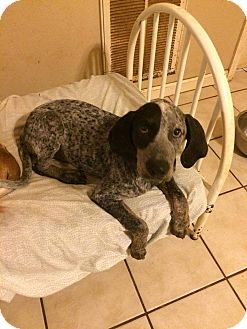 Bluetick Coonhound Mix Puppy for adoption in Providence, Rhode Island - Blue