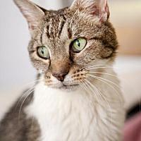 Domestic Shorthair Cat for adoption in Stafford, Virginia - Porsche