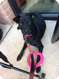 Labrador Retriever Mix Dog for adoption in Austin, Texas - Sakora