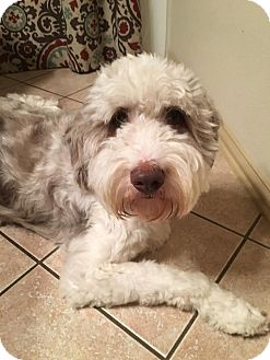 English Sheepdog Mix Dog for adoption in DFW, Texas - Charlie