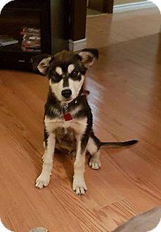 German Shepherd Dog/Husky Mix Puppy for adoption in Winnipeg, Manitoba - BAUER