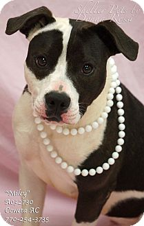 Pointer/American Bulldog Mix Dog for adoption in Newnan City, Georgia - Miley