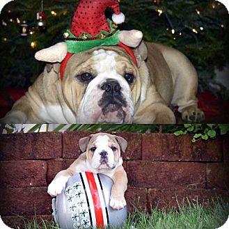 English Bulldog Dog for adoption in Columbus, Ohio - Rookie