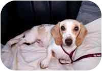 Dachshund Mix Dog for adoption in Cincinnati, Ohio - Tucker