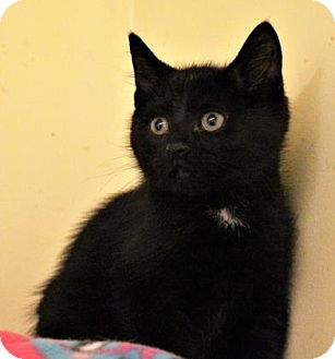 Domestic Shorthair Kitten for adoption in West Des Moines, Iowa - Cappi