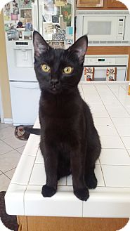 Domestic Shorthair Cat for adoption in Chino Hills, California - Nicoli (playful & snuggly)