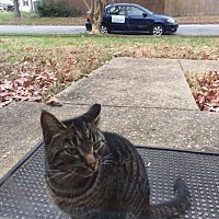 Domestic Shorthair Cat for adoption in Hampton, Virginia - Maggie (Courtesy Listing)
