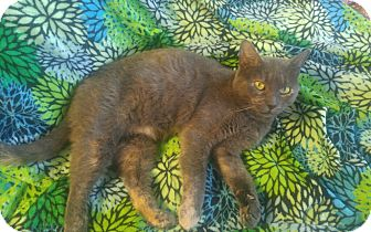 American Shorthair Cat for adoption in Swansea, Massachusetts - Violet