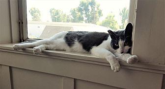 Domestic Shorthair Cat for adoption in Monrovia, California - Rita