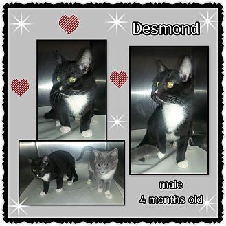 Domestic Shorthair Cat for adoption in Richmond, California - Desmond