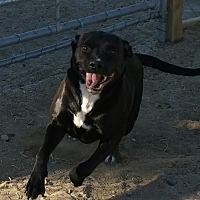 American Staffordshire Terrier Mix Dog for adoption in Los Angeles, California - Shadow