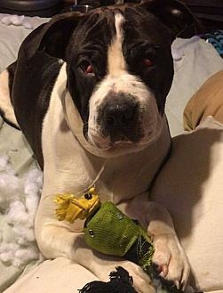 Boston Terrier/Pit Bull Terrier Mix Puppy for adoption in Cameron, North Carolina - Neveah