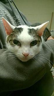 Domestic Shorthair Cat for adoption in Camden, Delaware - Squidward