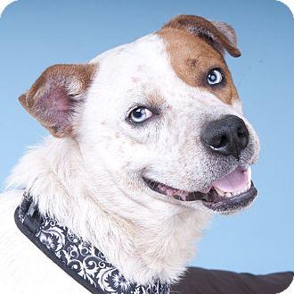 Cattle Dog Mix Dog for adoption in Chicago, Illinois - Turbo-Blue