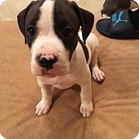 Labrador Retriever Mix Puppy for adoption in Alpharetta, Georgia - Evey Parker