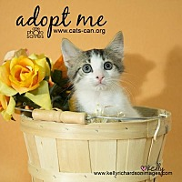 Domestic Shorthair Kitten for adoption in Oviedo, Florida - Donnie