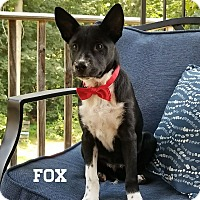 Adopt A Pet :: Fox - Southington, CT