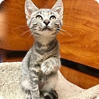 Adopt A Pet :: Paulie - Greenburgh, NY
