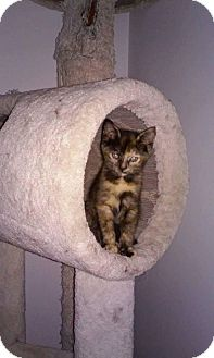 Domestic Shorthair Kitten for adoption in Los Angeles, California - Sassy