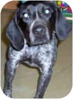 Australian Cattle Dog/Hound (Unknown Type) Mix Dog for adoption in Murphysboro, Illinois - Frankie