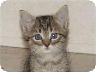 Domestic Mediumhair Kitten for adoption in KANSAS, Missouri - LADY BUG