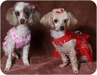 Poodle (Miniature)/Maltese Mix Dog for adoption in Tallahassee, Florida - Missy & Precious