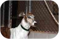 Greyhound Dog for adoption in St Petersburg, Florida - Chip
