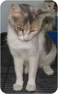 Domestic Shorthair Kitten for adoption in Mt. Vernon, Illinois - Liza