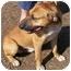 Photo 2 - Boxer/Bulldog Mix Dog for adoption in Hamilton, Ontario - Astro