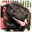 Photo 2 - Shar Pei/Labrador Retriever Mix Dog for adoption in Portsmouth, Rhode Island - Sailor