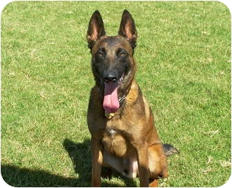 Belgian Malinois Mix Dog for adoption in Patterson, California - PACO