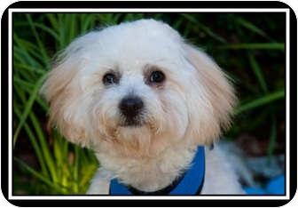 Miniature Poodle/Golden Retriever Mix Dog for adoption in Fort Braff, California - Tanner