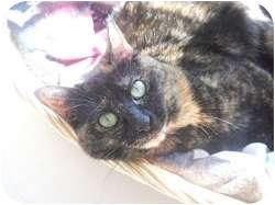 Domestic Mediumhair Cat for adoption in Hamburg, New York - Lilly Rose