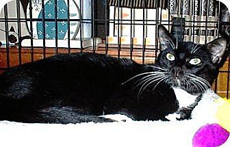 Domestic Mediumhair Cat for adoption in Miami, Florida - Chris
