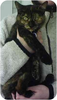 Domestic Shorthair Cat for adoption in Molalla, Oregon - Molly