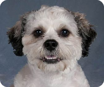 Lhasa Apso/Shih Tzu Mix Dog for adoption in Chicago, Illinois - Henry
