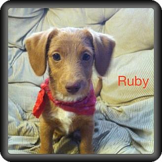 Dachshund Mix Puppy for adoption in Glastonbury, Connecticut - Ruby