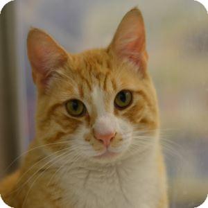 Domestic Shorthair Kitten for adoption in Gilbert, Arizona - Tiki