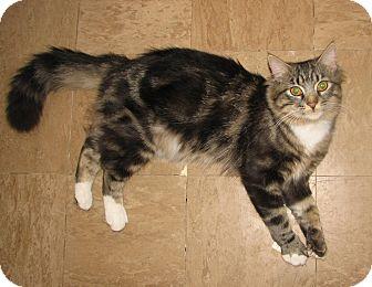 Domestic Mediumhair Cat for adoption in Fairbury, Nebraska - Preston