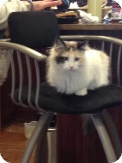 Himalayan Cat for adoption in Grand Junction, Colorado - Gracie