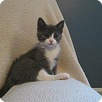 Adopt A Pet :: French Vanilla - South Plainfield, NJ