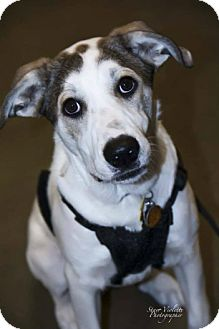 German Shepherd Dog/Great Pyrenees Mix Dog for adoption in Fort Worth, Texas - NORAH