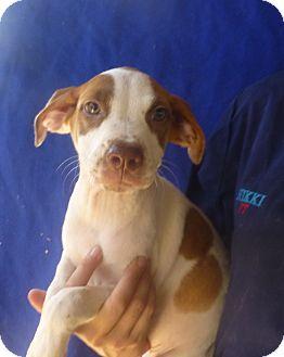 American Bulldog/Boxer Mix Puppy for adoption in Oviedo, Florida - Millie
